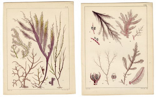 Pair of Small Mid 19th Century Seaweed Lithographs (SOLD)