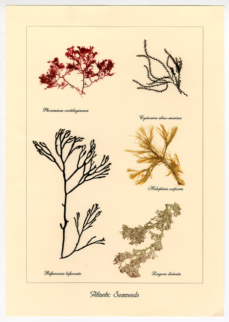 """Atlantic Seaweeds"", Natural Pressed Seaweed"