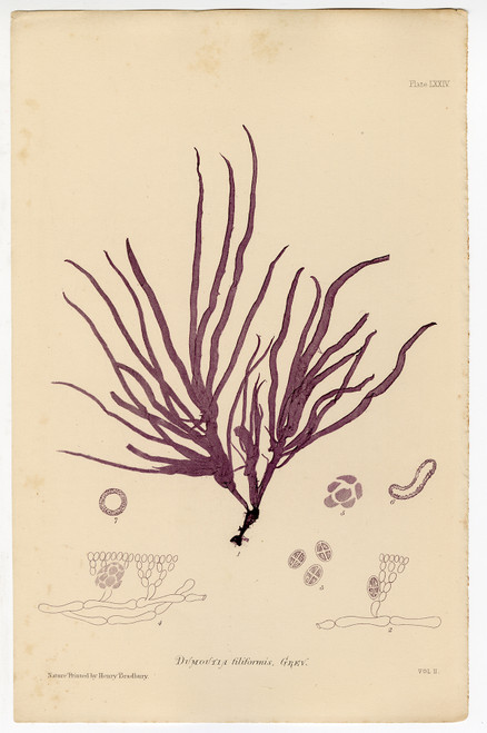 """Dumoutia filiformis"", Bradbury Nature-Printed Seaweed Prints 1859"