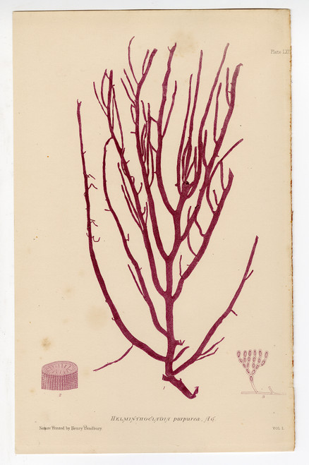 """Helminthocladia purpurea"", Bradbury Nature-Printed Seaweed Prints 1859"