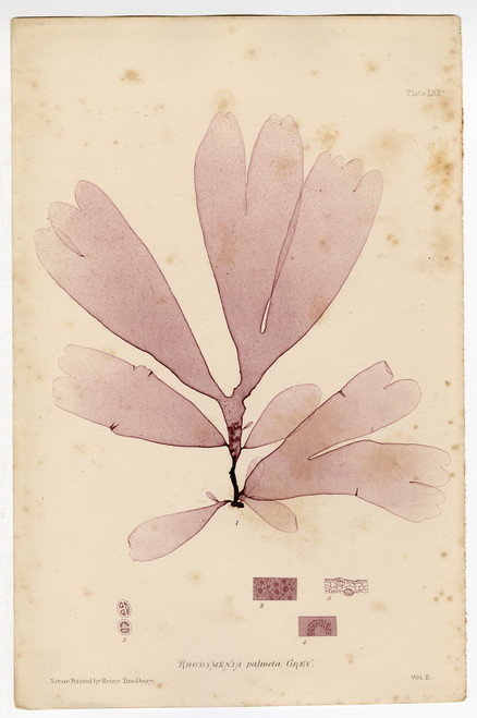 """Rhodymenia palmeta"", Bradbury Nature-Printed Seaweed Prints 1859 (SOLD)"