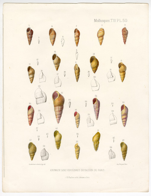 """Mollusques, PL 30"", Hand-Colored Mollusk Shells, Circa 1865"