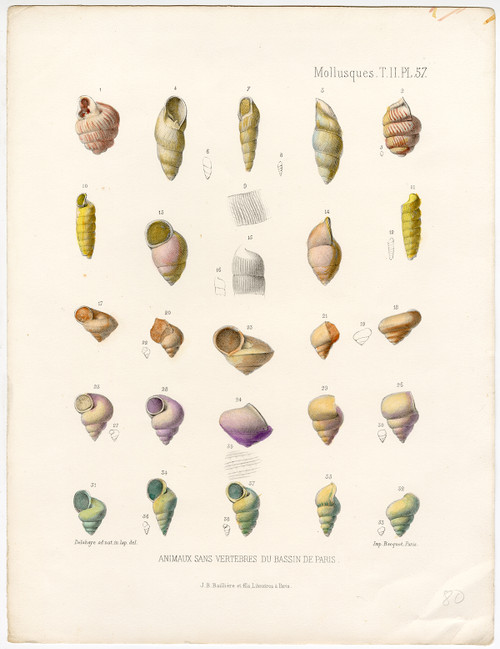 """Mollusques, PL 57"", Hand-Colored Mollusk Shells, Circa 1865 (SOLD)"