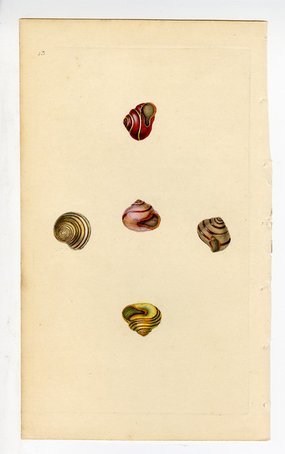 Colorful Hand Painted Mollusk Shells Circa Early 1900s (Plate 13) (SOLD)