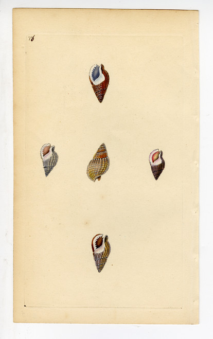 Colorful Hand Painted Mollusk Shells Circa Early 1900s (Plate 76) (SOLD)