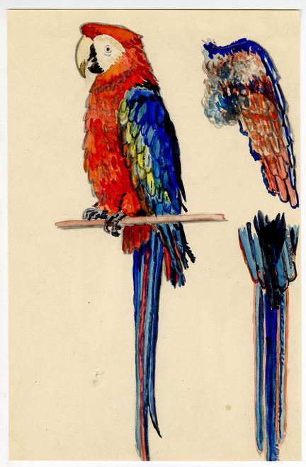 """Parrot Study"" - Watercolor Circa 1950 (2)"