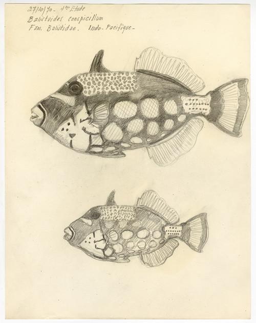 """Clown Triggerfish"" - French Sketch Study Circa 1970"