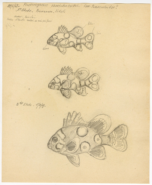 """Harlequin Sweetlips"" - French Sketch Study Circa 1968"