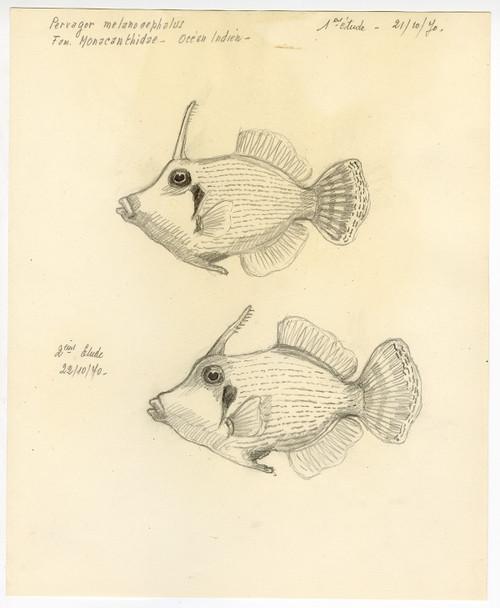 """Redtail Filefish"" French Sketch Study Circa 1970"