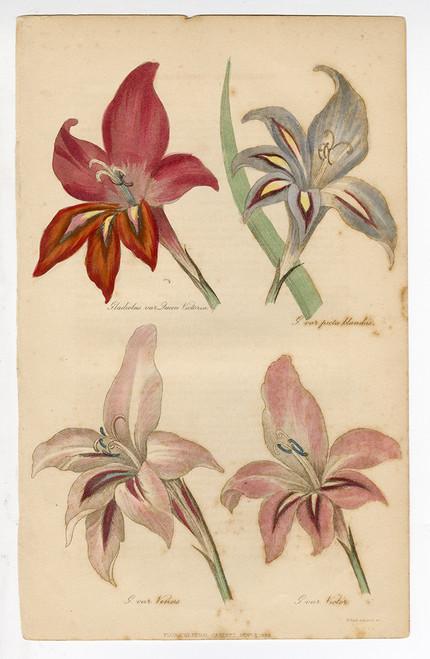 """""""Gladiolus var Queen Victoria"""", Original Antique Engraving"""