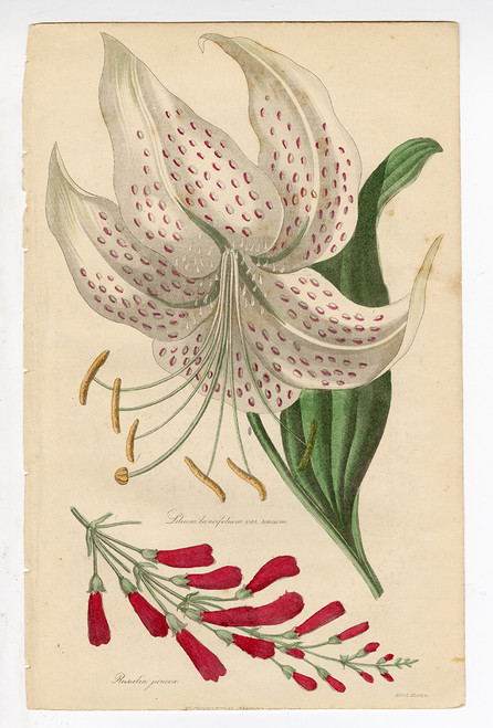 """""""Lilium lancifolium..."""", Original Antique Engraving"""