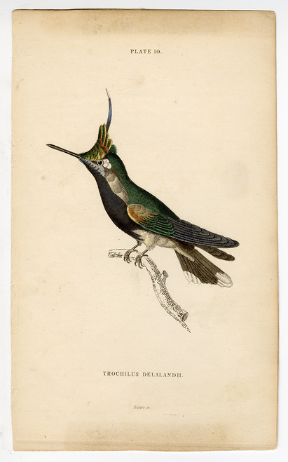"""Trochilus Delalandii"", 19th Century Hand-Colored Steel Engraving"