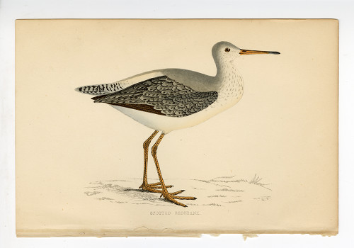 """""""Spotted Redshank"""", 19th Century Woodblock Engraving"""