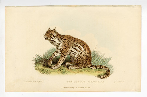 """""""The Ocelot"""", Hand-Colored Copperplate Engraving"""