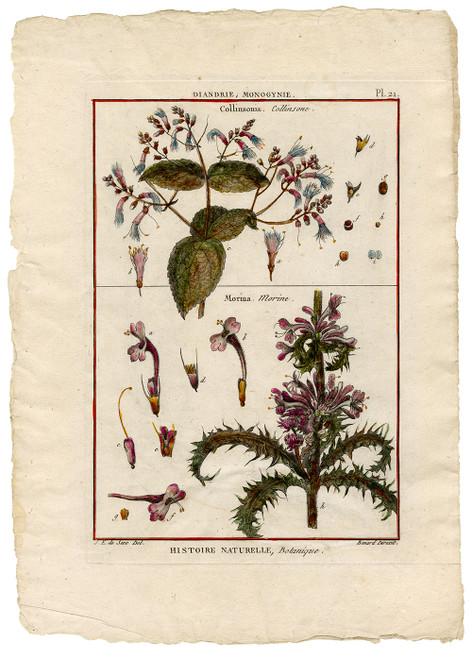 """Collinsonia, Morina"" - Original 18th Century Engraving"