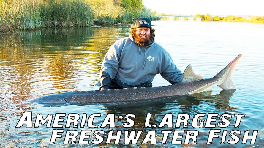 VIDEO: The Great White Sturgeon- America's Largest Freshwater Fish| Episode 5