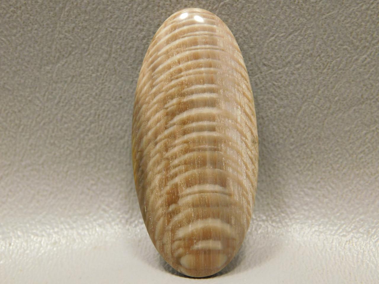 Petrified Sycamore Wood Cabochon Badger Pocket Fossil Wood Stone #6