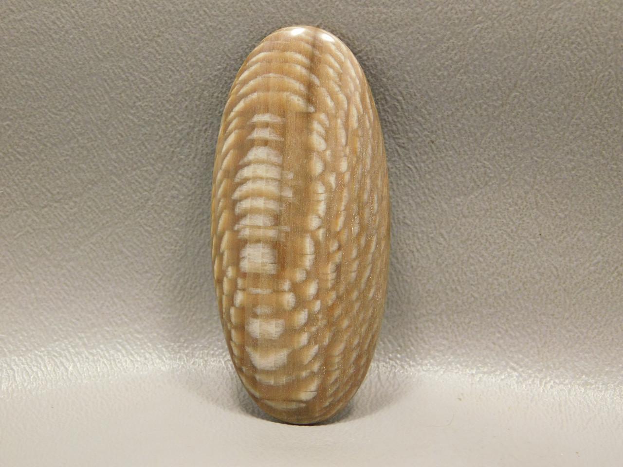 Petrified Wood Badger Creek Sycamore Stone Designer Cabochon #1