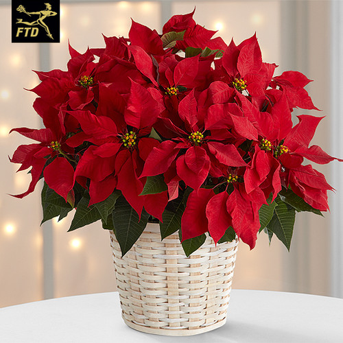 "7.5"" Red poinsettia in foil wrap with a bow"