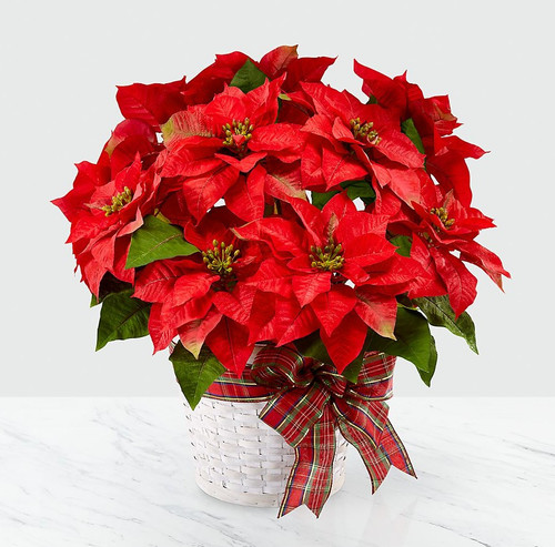 The Flowerloft's Happiest Holidays Poinsettia