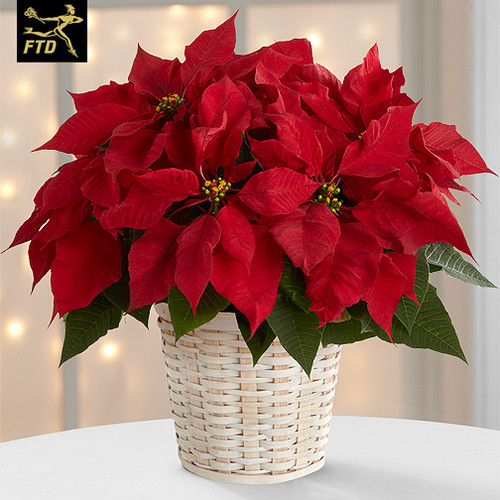 """6.5"""" Red poinsettia wrapped in foil with a bow"""
