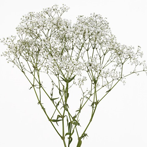 Gypsophila paniculata 'Beauty Bride'