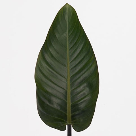 Philodendron 'Red Beauty'
