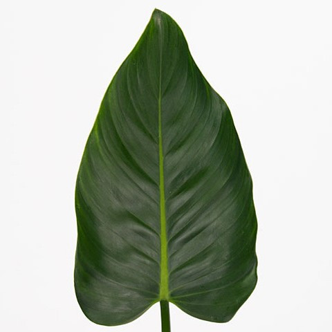Philodendron 'Green Beauty'