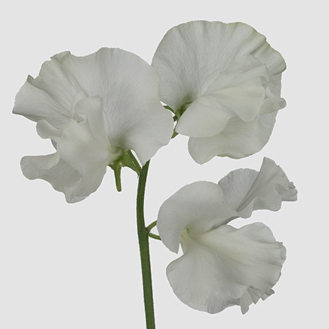 Lathyrus odoratus 'White Moonlight'
