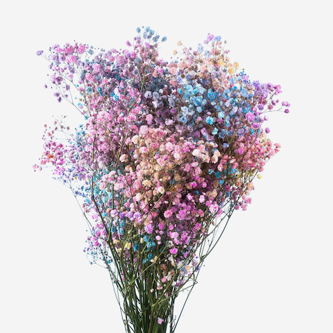 Gypsophila colored