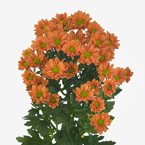 Chrysanthemum santini Madiba Ovada Orange