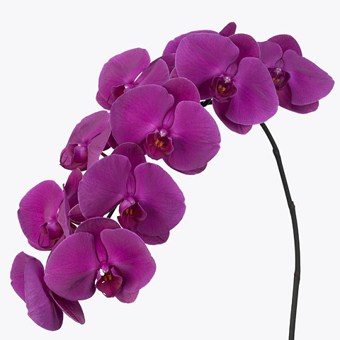 Phalaenopsis Purple Passion