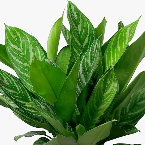 Aglaonema 'Stripes'