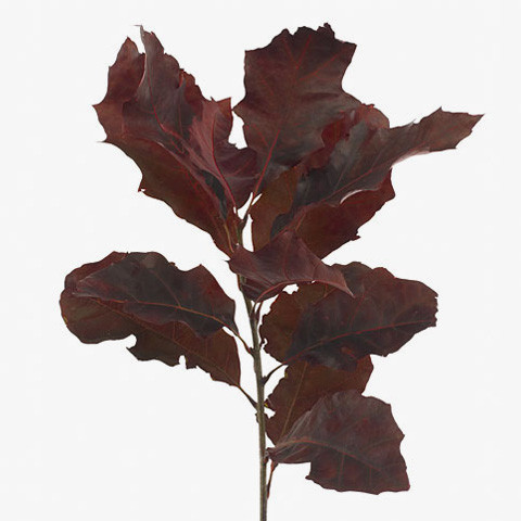 Quercus rubra colored