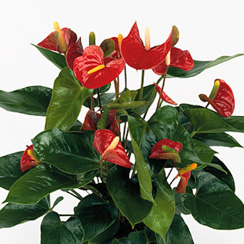 Anthurium Red Champion