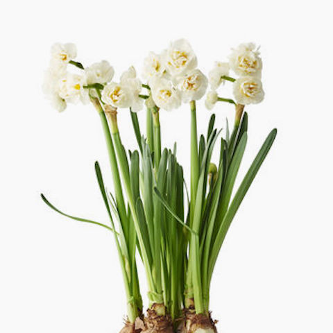 Narcissus 'Bridal Crown' bulbs