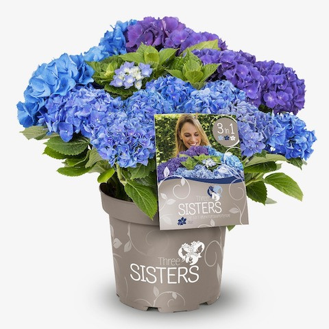 Hydrangea macrophylla Three Sisters® Blue