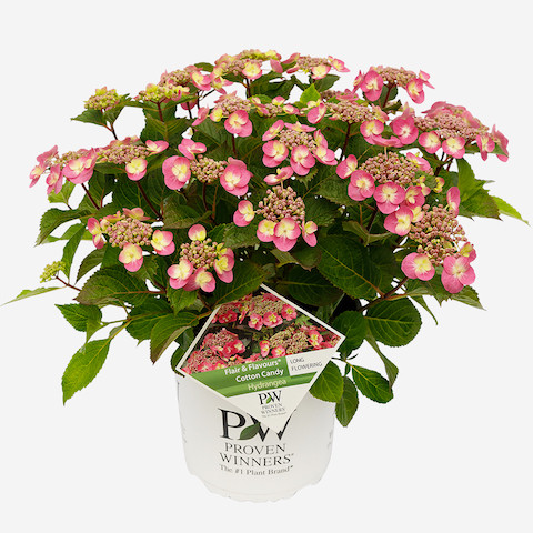 Hydrangea Flair & Flavour® Cotton Candy®