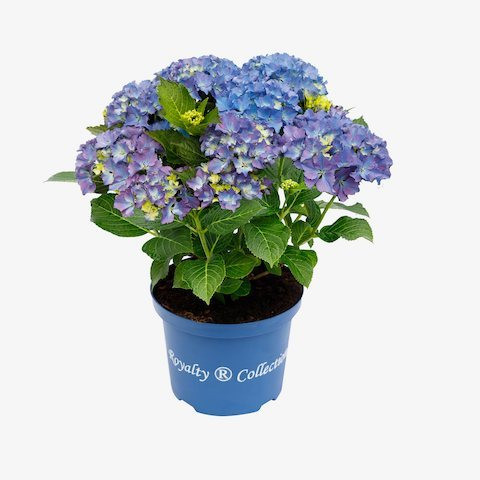 Hydrangea macrophylla Royalty Collection® Happy Blue®