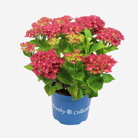 Hydrangea macrophylla Royalty Collection® Green Shadow®