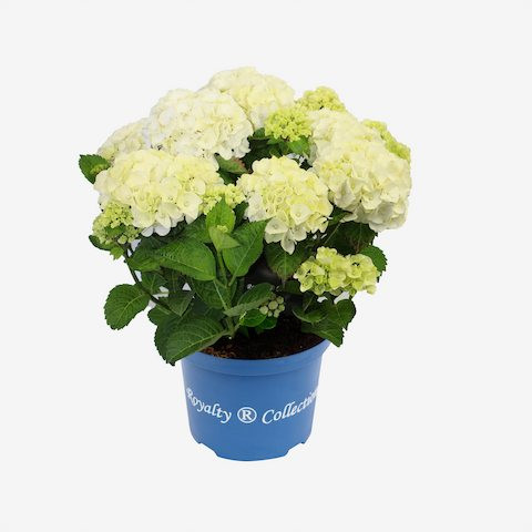 Hydrangea macrophylla Royalty Collection® Caipirinha®