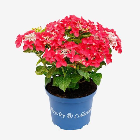 Hydrangea Royalty Collection® Lady in Red®