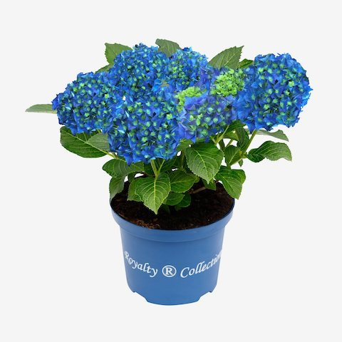Hydrangea Royalty Collection® Blue Power®