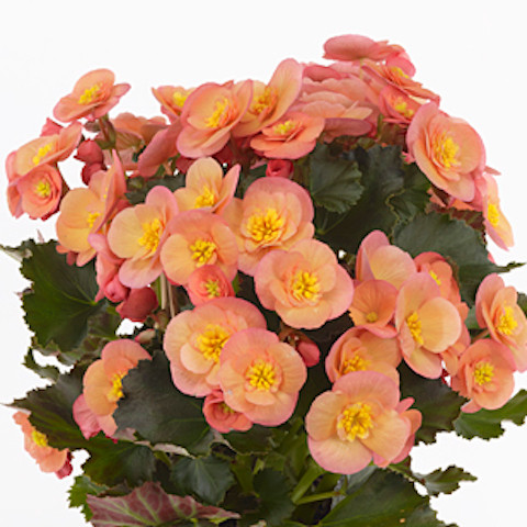 Begonia Belove Peach