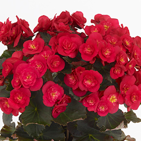 Begonia Belove Cherry