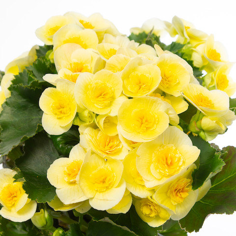 Begonia Belove Yellow
