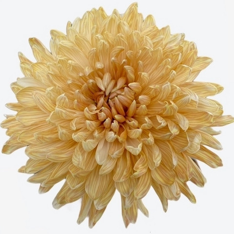Chrysanthemum Antonov Latte