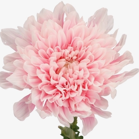 Chrysanthemum Antonov Light Apricot
