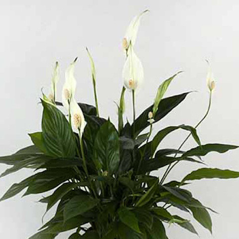 Spathiphyllum 'Pearl Cupido'