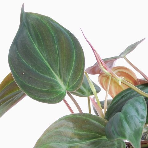 Philodendron scandens subsp. micans